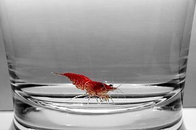 red_cherry_shrimp_b_w_by_allhailz-d64cbdv.jpg