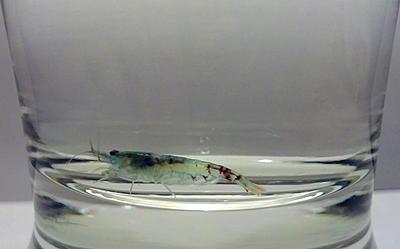 female_blue_rili_shrimp_by_allhailz-d65olow.jpg