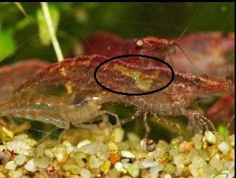 red-cherry-shrimp-female.jpg
