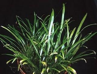 cryptocoryne crispatula var. flaccidifolia.jpg