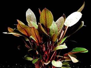 cryptocoryne wendtii tropica.jpg