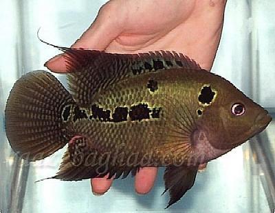 ماهي فلاورهورن اژدهاي سبز.jpg