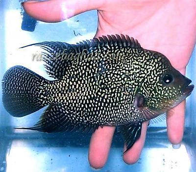 ماهي فلاورهورن مرواريدي فوق آبي.jpg