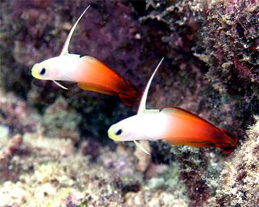 dartfish_firefish1.jpg