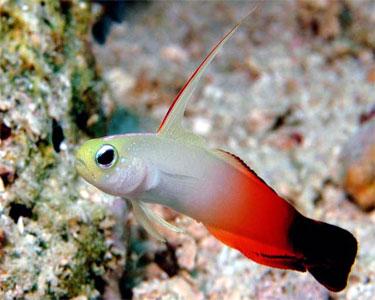 dartfish_firefish2.jpg