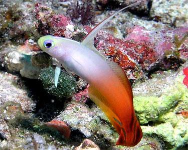 dartfish_firefish3.jpg