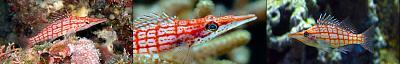 hawkfish_longnose.jpg