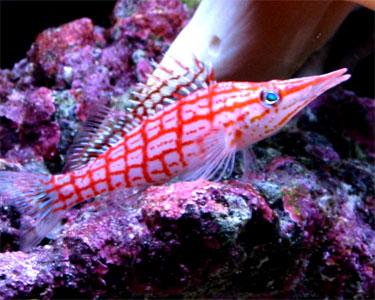 hawkfish_longnose1.jpg