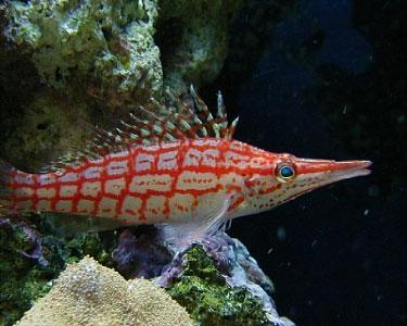 hawkfish_longnose3.jpg