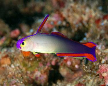 dartfish_purplefirefish1.jpg