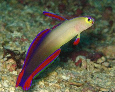 dartfish_purplefirefish2.jpg