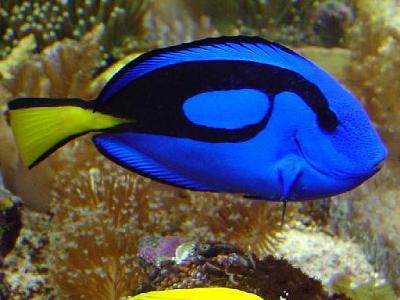 blue hippo tang-709112.jpg