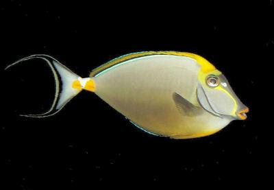 nasotang-elegantunicornfishwmta_p103.jpg