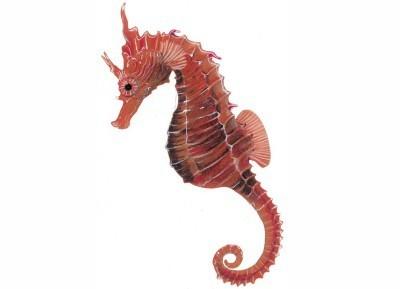 hippocampus-coronatus-1.jpg