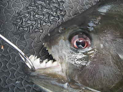 piranha-teeth.jpg