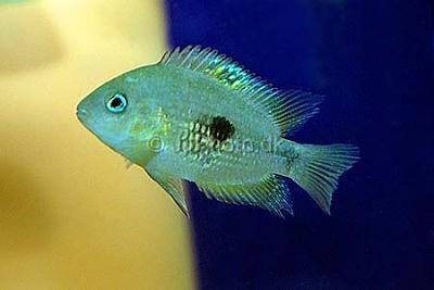 01_fish_unknown__archocentrus_septemfasciatus_x_.jpg