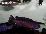 pseudotropheus-ater-male.jpg