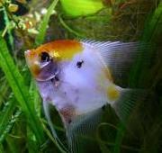 angelfish6.jpg