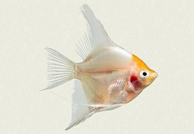 angel-fish-white-yellow-head.jpg