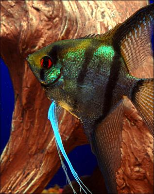 angelfish-freshwater-i11.jpg
