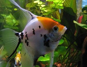 angelfish_koi_angelfish.jpg
