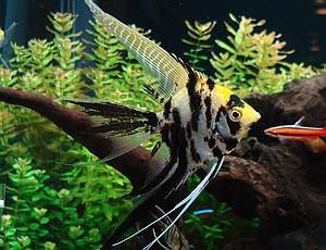 angelfish_marbled_angelfish.jpg