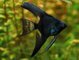 angelfish_black_lace_angelfish.jpg