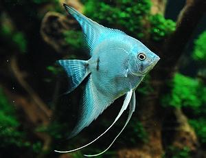 angelfish_blue_blushing_angelfish.jpg