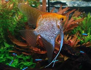 angelfish_gold_pearlscale_angelfish.jpg