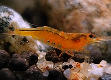 invertebrates_orange_shrimp.jpg
