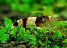 invertebrates_zebra_shrimp.jpg