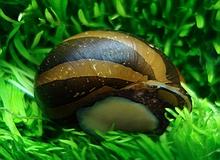 invertebrates_zebra_thickstripe_snail.jpg