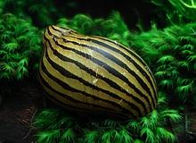 invertebrates_zebra_thinstripe_snail.jpg