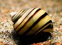 invertebrates_zebra_mystery_snail.jpg