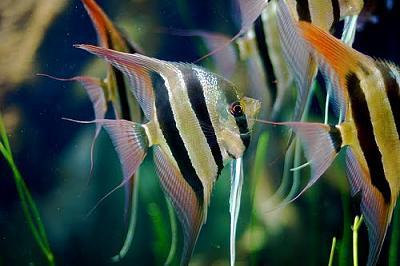 freshwater-angelfish.jpg
