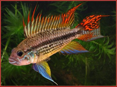 double_full_red_cockatoo_cichlid[1].jpg