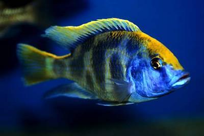 nimbochromis_venustus_adult_1.jpg