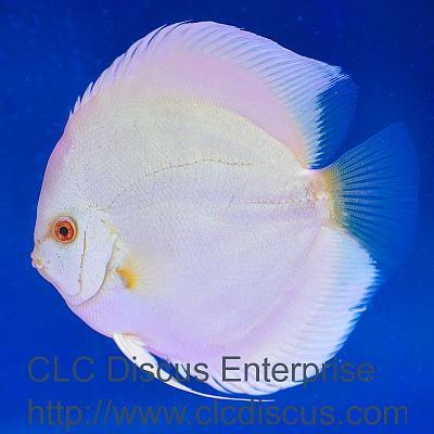 albino blue diamond.jpg