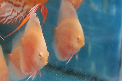 albino red white.jpg
