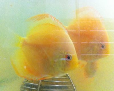 albino-yellow-lemon-diamond.jpg