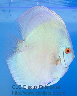 discus-fish-bulldog-blue-diamond_6148r.jpg