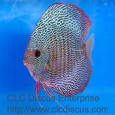 discus-fish-snakeskin_fd05653r.jpg