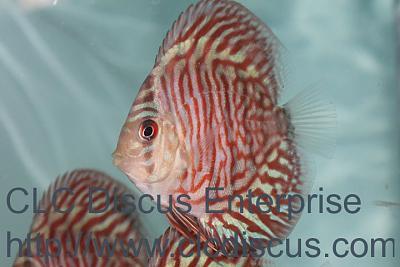 discus-fish-tiger-turquoise-1214-r.jpg