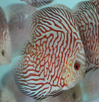 discus-fish-vietnam-checkerboard-pigeon14.jpg