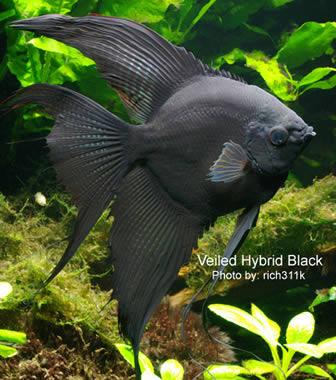black-angelfish.jpg