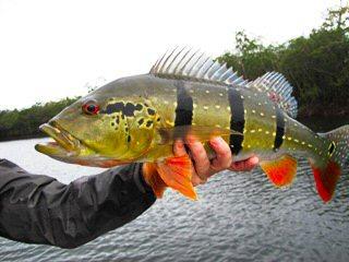 blog_feb_10_2013_1+fly+fishing++peacock+bass.jpg