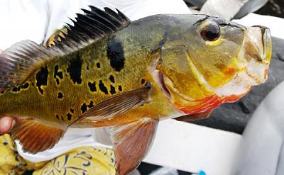 butterfly-peacock-bass-fishing-trip_1383.jpg