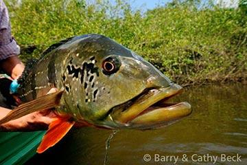pic01-peacock-bass-agua-boa-lodge.jpg