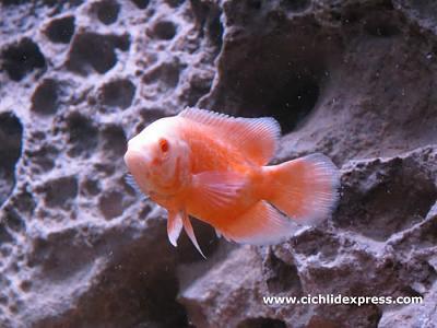 albinorubyoscar2.jpg