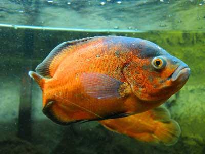 oscar-fish1.jpg